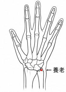 経絡経穴 手の太陽小腸経 養老(骨格有)