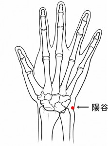 経絡経穴 手の太陽小腸経 陽谷(骨格有)