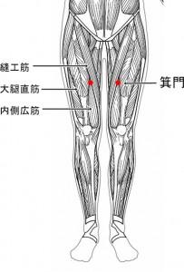 経絡経穴 足の太陰脾経 箕門(筋肉有)